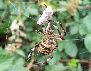 spider-web-prey-sirtuins-genes