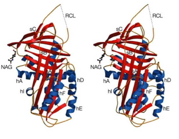 Stereoscopic model of pigment epithelium-derived factor derived from the crystal structure