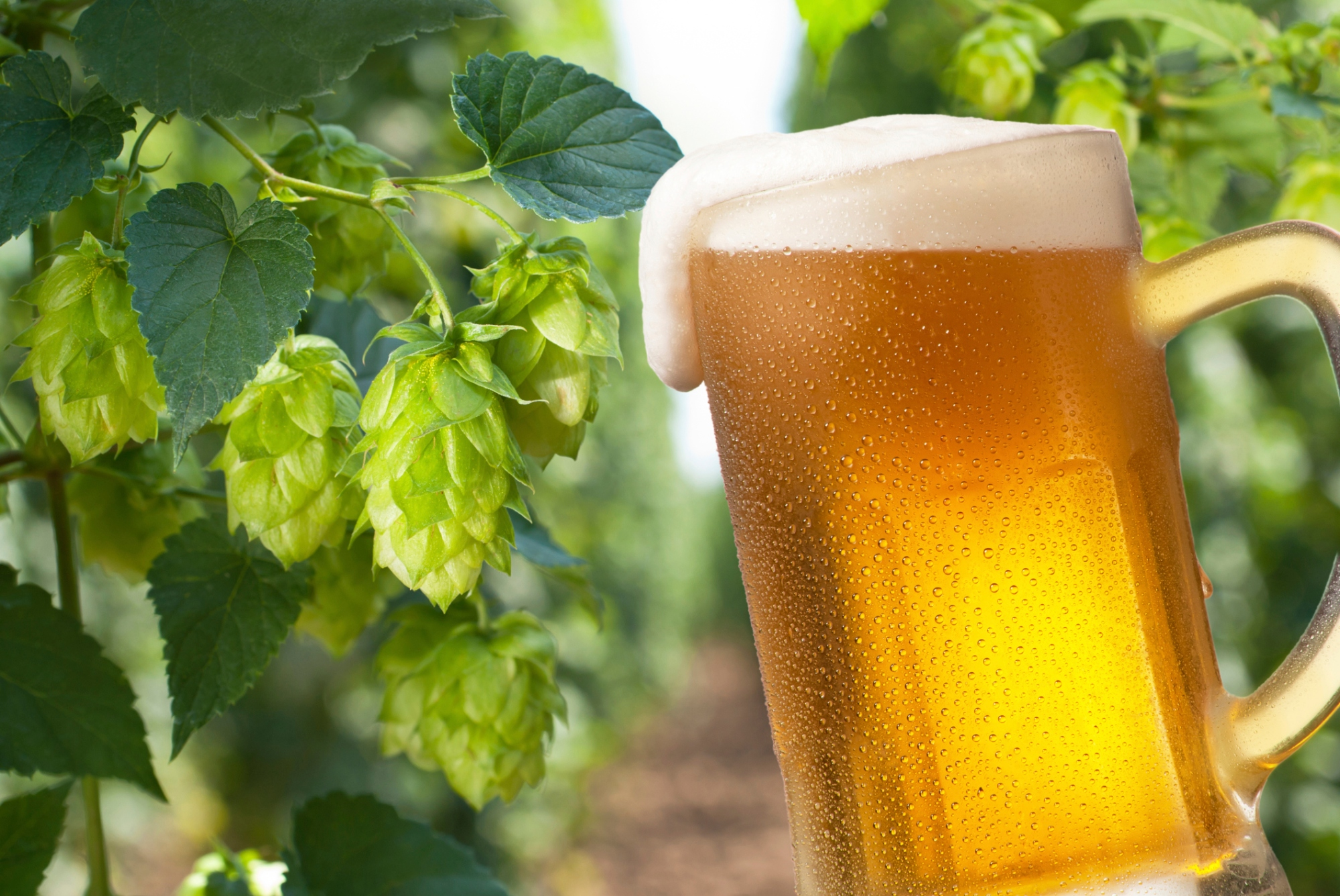 xanthohumol hops beer diabetes obesity hypertension cancer